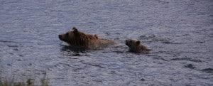 Grizzlybjørne mor og unge, svømmer over flod, Alaska på tværs