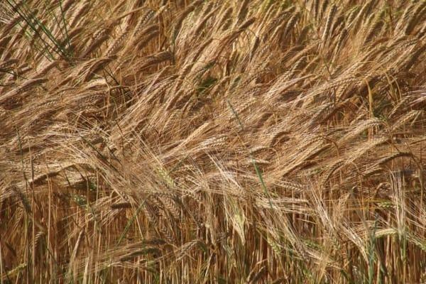 Billede af korn, Fra Bikepacking, Danmark rundt
