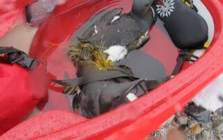 Billede af to lomvie, der er vinklet ind i et fiskenet, ligger i en kajak, til: Dyrenes ven eller mad? [Historiefortælling]