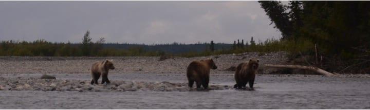 Grizzly bjørne, Alaska