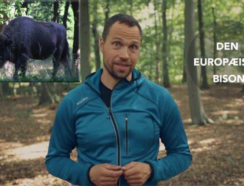 [Historiefortælling] Mødet med en bisonflok på Bornholm