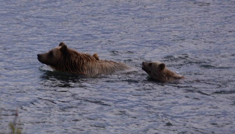 [Historiefortælling] Det store plask, Grizzlybjørn på vej!