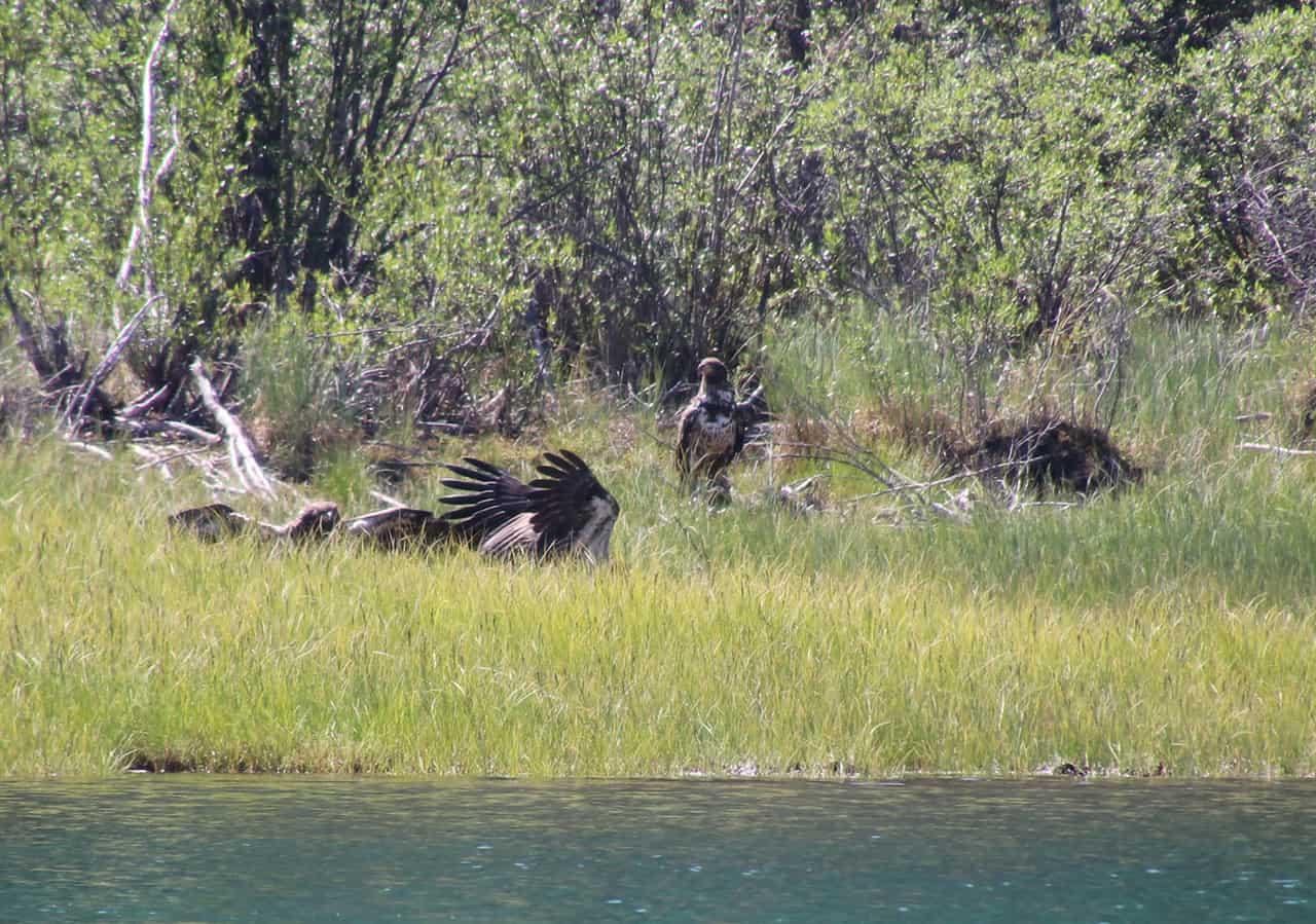 Havørne ved kadavar, Yukon River, til Historien om en ørnekamp [Historiefortælling]