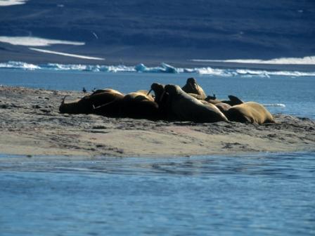 Hvalrosser der ligger og hviler sig på Sandøen, Nordøstgrønland