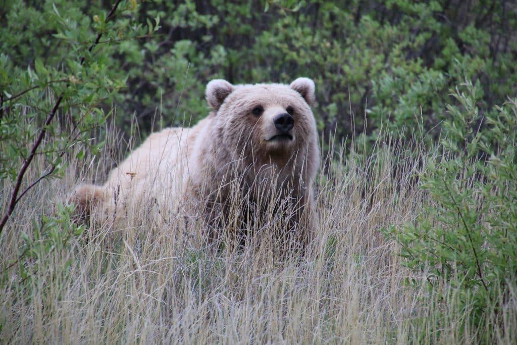 Brun, Grizzlybjørn