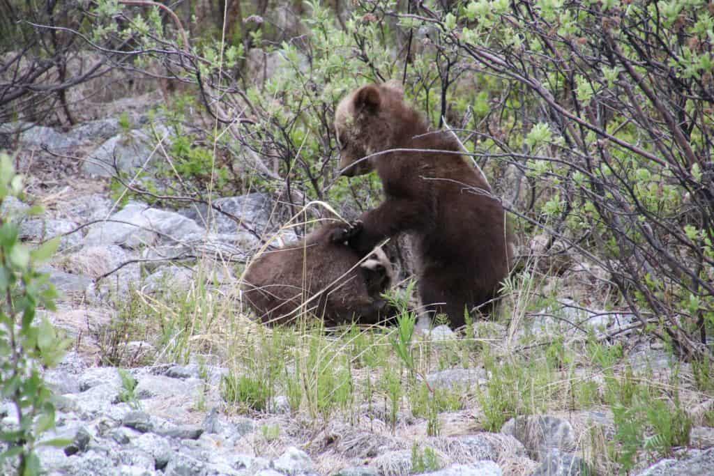 Brun, Grizzlybjørn Unger