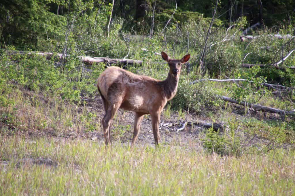 Elk, Alaska Highway