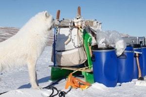 Ulve igen