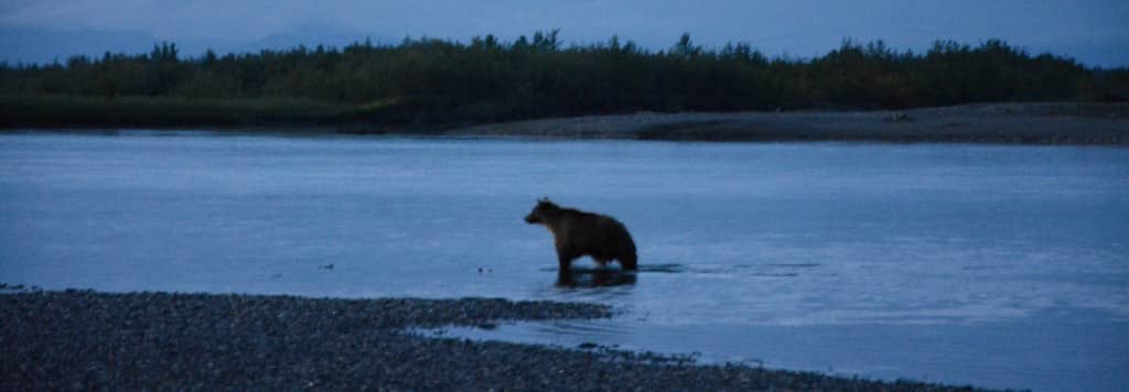 Grizzlybjørn går i Noatak River